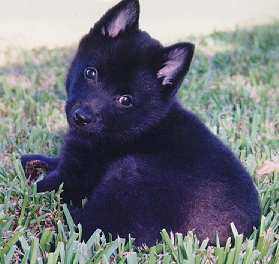 Schipperke Pedigree Database Search Page